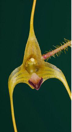 Orchid: Porroglossum echidna