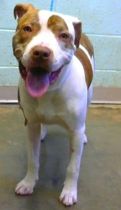 Petango.com – Meet Luigi, a 1 year 1 month Terrier, Pit Bull / Mix available for adoption in DECATUR, GA