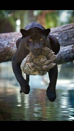 Spirit Guide, Black Panther :-)