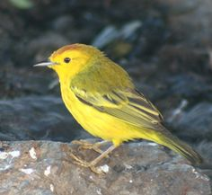 Darwin Finches-Galapagos Islands