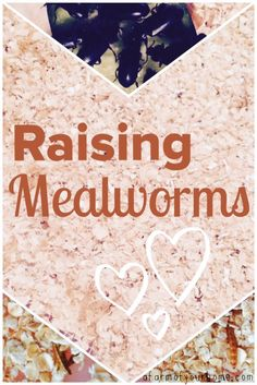 Raising mealworms couldn't be easier. Once your farm is established, your chickens, reptiles, amphibians, fish (and even you!) can harvest them for years to com. Pet Chickens, Raising Chickens, Raising Mealworms, Meal Worms Raising, Bearded Dragon Diet, Edible Insects, Raising Ducks, Future Farms, Diy Chicken Coop