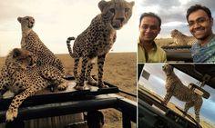 Tourist snaps selfies with family of CHEETAHS on safari in Kenya #DailyMail