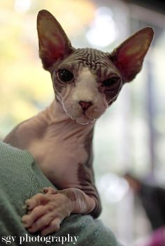 The Canadian Sphynx is known for its lack of a coat. It is distinct from the Russian Sphynx breeds like Peterbald and Don Sphynx. Their skin is the color their fur would be; all the usual cat marking patterns (solid, point, van, tabby, tortie, etc.) may be found on their skin. The sphinx generally has a wedge-shaped head and a sturdy, heavy bodies. Sphynxes are known for their extroverted behavior. They display a high level of energy, intelligence, curiosity, and affection for their owners.