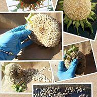 harvest your sunflower seeds for next year in 5 easy steps, flowers, gardening, Harvest Your Sun Flower Seeds Very Easily In 5 EASY STEPS Farm Gardens, Outdoor Gardens, Garden Junk, Garden Projects, Garden Ideas, Diy Projects, Sunflower Seeds, Seed Starting, Planting Seeds