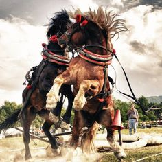 A draft horse fight in harness.