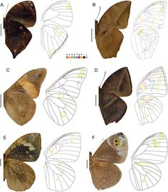 Wing pattern diversity in Brassolini butterflies (Nymphalidae, Satyrinae) Moth Wings, Insect Wings, Insect Art, Butterfly Drawing, Butterfly Painting, Butterfly Wing Pattern, Butterfly Wings, Wings Drawing, Arte Obscura