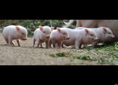 lil pig,lil pig!! you come live with me!! all of ya'll!!!