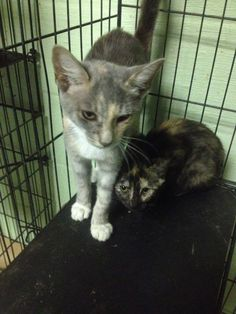 BETHANY & BROOKE HAVE BEEN RESCUED !! THE 847TH & 848TH CATS RESCUED FROM CCAC IN 2015  3 AUG @4PM ET - PULLED FOR RESCUE BY NH KITTENS OF NEW LONDON, NH . WILL BE VETTED AND FOSTERED IN WILMINGTON AND ON TRANSPORT TO NH FRIDAY 7 AUG. FOR FOSTER AND EVENTUAL ADOPTION IN NH