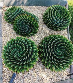 How many succulents do you have in your garden? If you want to learn more about the most popular succulents you need in your succulent garden, read more! Types Of Succulents, Cacti And Succulents, Planting Succulents, Cactus Plants, Garden Plants, House Plants, Planting Flowers, Outdoor Cactus Garden, How To Propagate Succulents