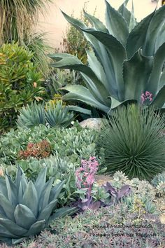 """Xeriscaping, Drought Tolerant Land Cover Native Agave Garden """"native to the southern and western United States, Mexico and central and tropical South America"""" Source by daffodilmoon. Succulent Landscaping, Front Yard Landscaping, Succulents Garden, Backyard Landscaping, Landscaping Ideas, Backyard Ideas, Tropical Landscaping, Colorado Landscaping, High Desert Landscaping"""