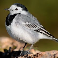 The white wagtail is a small passerine bird in the wagtail family Motacillidae, which also includes the pipits and longclaws. This species breeds in much of Europe and Asia and parts of north Africa. The white wagtail is the national bird of Latvia. #wikipedia :@tiziana_rome #thetweetsuites #whitewagtail #Motacillidae #passerine #europe #asia #northafrica #latvia #linerle