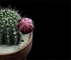 Echinopsis Cacti in Bloom by Greg Krehel