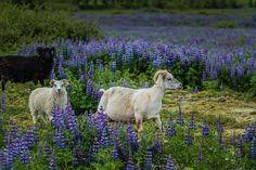 Ben nu twee keer op IJsland geweest: onvergetelijke ervaringen. #photography #travelphotography #traveller #canonnederland #canon_photos #fotocursus #fotoreis #travelblog #reizen #reisfotografie #travelwriter#fotoworkshop #willemlaros.nl #landschapsfotografie #nlfotofeature #motorbike #@vstrom #mysuzuki #iceland #fb