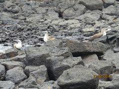 pirqueros de patas azules en Islas Galápagos: Blue-foot boobbies