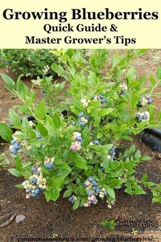Quick guide to growing blueberries at home, plus detailed information to help you plant blueberries and produce your best blueberry harvest ever. #homegrapegrowingguide #guidetogrowinggrapes