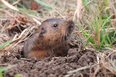 Like other pocket gophers, the western pocket gopher has two long, fur-lined cheek pouches that open externally, on the outside of the mouth. These pouches are used for transporting food, and can be turned inside out to be cleaned.