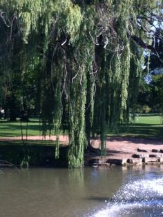 The famous weeping willow tree.