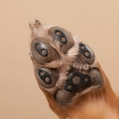 Paw pads for dogs veterinarians and boots for Hardwood floors dog nails