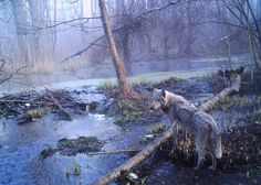 Picture of European gray wolf on Ukranian side of Chernobyl exclusion zone