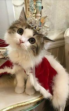 Kitty queen beautiful cats, pretty cats, cute little kittens, kittens cutest, cute Cute Little Kittens, Cute Cats And Kittens, I Love Cats, Kittens Cutest, Cute Baby Cats, Ragdoll Kittens, Tabby Cats, Bengal Cats, Pretty Cats
