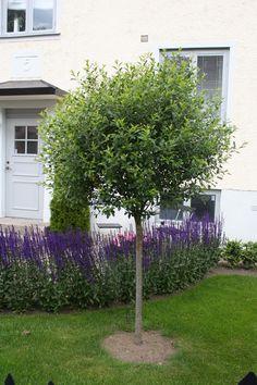 Prunus x eminens 'Umbraculifera' the perfect tree with a round crown / idealne drzewko o kulistej koronie