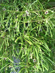 HOYA RETUSA - Over 100 flowers on this plant