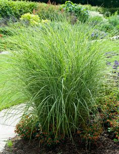"""Adds a Dramatic Flare to the Landscape - Threads of white line the blades of this maiden hair grass, offset by deep bronze blooms.  """"Morning Light""""  Morning Light Grass is a native of Asia, and a versatile grass to add to white gardens or containers. Also called miscanthus or morning light maiden grass, this ornamental grass adds a touch of elegance,..."""