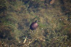Turtle spotting Mosquito Lake