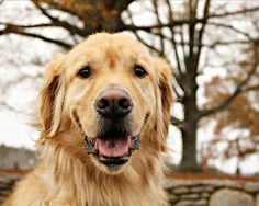 """""""Golden retrievers are not bred to be guard dogs, and considering the size of their hearts and their irrepressible joy in life, they are less likely to bite than to bark, less likely to bark than to lick a hand in greeting. In spite of their size, th who would not love them"""