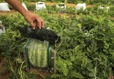 Reshape your watermelons grown at home. It is fun to change the shape of your watermelon and watch it grow into a square or some other shape of your choosing. And imagine how much more fun i…