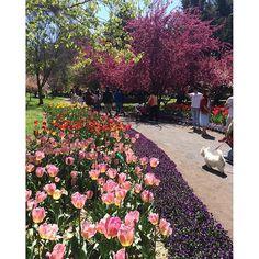 【_photomaniac1_】さんのInstagramをピンしています。 《Tulip Festival 🌷 #flowers #cherryblossoms #tulips #colourful #rainbow #nature #majestical #bluesky #scenery #amazing #different #unique #love #relaxing #calming #smile #roadtrip #adventure #traveling #blogging #havingfun》