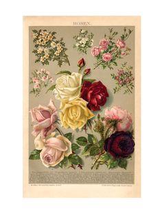 **Rosen - dieses beliebte Motiv ist eine Reproduktion einer Chromolithographie aus der Zeit um 1890**. Als Original ist dieser Steindruck in unserem Shop sehr gefragt immer nach kurzer Zeit wieder...