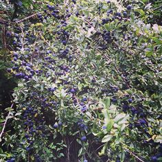 The hedgerows and trees are full of sloes blackberries damsons and elderberries...it must be nearly autumn  I can't wait to go foraging and making jam and gin.  #gardeningtips wait to pick sloes after the first frost as it softens their skin or if you are too impatient to wait like me pick them now and freeze them which does the same job   #blackberries #sloe #sloegin #foraging #homemade #september #autumn #fall #seasons #hedgerow #healthyliving #englishsummer #englishcountryside…