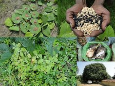Medicinal Rice Formulations for Diabetes Complications, Heart and Kidney Diseases (TH Group-84 special) from Pankaj Oudhia's Medicinal Plant Database
