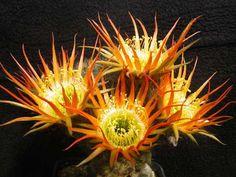 Cacti, Cactus Plants, Succulents, Plants, Cactus, Succulent Plants