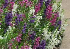 "Angelonia:  This hardy annual does great in both containers and as an in-ground annual and is very heat tolerant.  It blooms all summer and into early fall, and the taller variety provides a great ""centerpeice"" for containers."