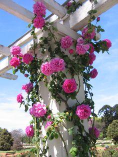 A rosa-trepadeira (Rosa wichurana) é indicada para pleno sol e é ótima para enfeitar arcos, treliças e pergolados.