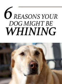 6 Reasons Why Your Dog Might Be Whining http://iheartdogs.com/6-reasons-your-dog-may-be-whining/