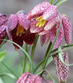 Kievitsbloem - Fritillaria meleagris - Voorjaarsbrenger - Snake's head - Damier: 20-30 - alle tinten paars/wit mei/juni - zaaddoosjes (zaaien - pas bloei het 2de jaar - bolletjes ->verwilderen)