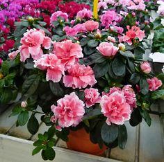Azalea o rododendro coltivazione e cura della pianta