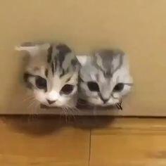 Siamese twin cat  https://t.co/cdPAwhBWyq