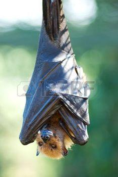 pipistrello: Pipistrello appeso a testa in giù con le ali piegate