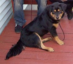 Elvis the Chow Chow / Rottie mix Doberman Pinscher Puppy, Rottweiler Puppies, Baby Puppies, Dogs And Puppies, Dog Crossbreeds, Puppy Names, Mixed Breed, Chow Chow, Dog Pictures