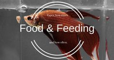 Are you overfeeding your betta? It could kill them! Check out the full Betta Fish Food and Feeding Guide. Betta Food, Betta Fish Care, Gone Fishing, Best Fishing, Fishing Tips, Betta Tank, Fish Tank, Aquarium Fish Food, Betta Aquarium