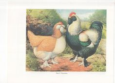 Vintage Poultry Print Chicken Print Bookplate by Ludlow  Faverolles & Black Frizzled Fowls  Original Plates 23 and 24  Two-Sided Print by WondersOfThePast on Etsy https://www.etsy.com/listing/477355615/vintage-poultry-print-chicken-print