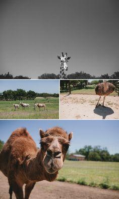 Animals at wedding. Zoo wedding. Serengeti Wedding. Camel giraffe ostrich. Texas barn wedding. Serengeti Resort San Antonio Texas. Texas wedding photography.