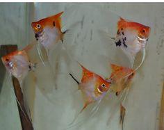 Orange Deluxe Koi Angelfish