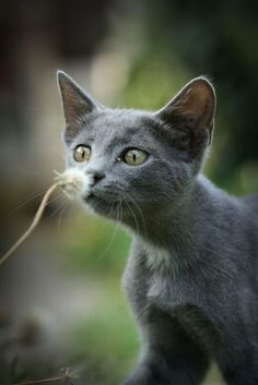 Discover The Russian Blue Cats - Cat's Nine Lives Blue Cats, Grey Cats, Gray Kitten, I Love Cats, Cool Cats, Beautiful Cats, Animals Beautiful, Baby Animals, Cute Animals