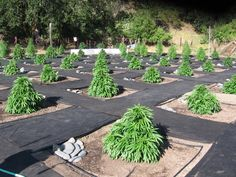Perfect cannabis out door garden. I think I want one of those to be my Christmas tree. #marijuana #cannabis