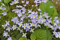 Least Bluet Phlox Plant, Wholesale Nursery, Outdoor Carpet, Language Of Flowers, Plant Sale, All Plants, Shade Garden, Flower Beds, Flourish